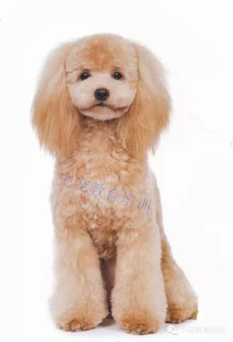 将目前常见的部分泰迪犬种造型进行